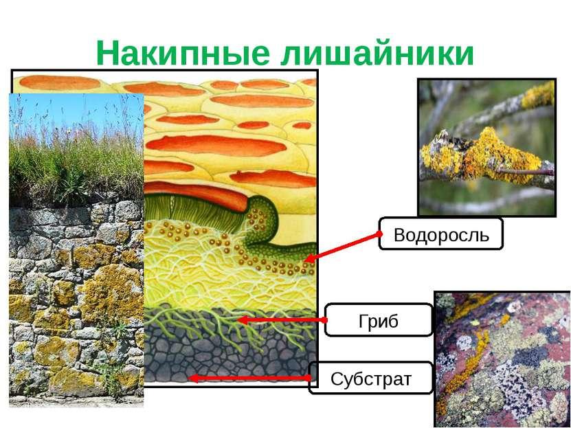 Накипные лишайники Водоросль Гриб Субстрат