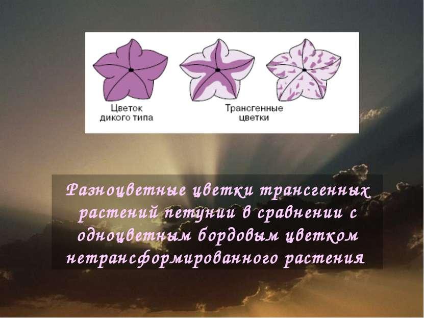 Разноцветные цветки трансгенных растений петунии в сравнении с одноцветным бо...