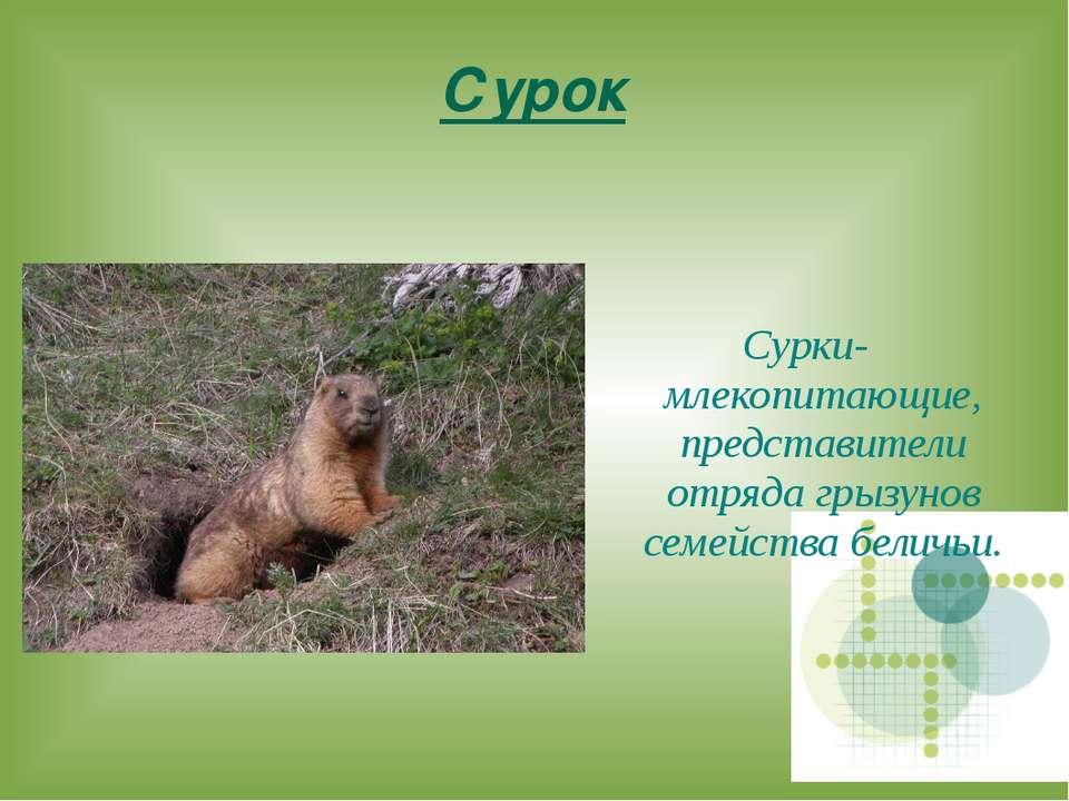 Сурок Сурки- млекопитающие, представители отряда грызунов семейства беличьи.