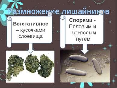 Размножение лишайников Вегетативное – кусочками слоевища Спорами - Половым и ...