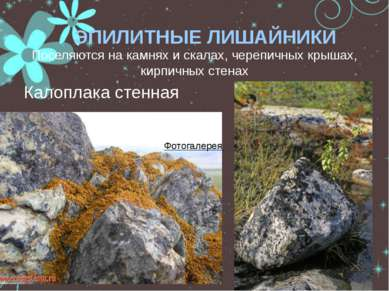 ЭПИЛИТНЫЕ ЛИШАЙНИКИ Поселяются на камнях и скалах, черепичных крышах, кирпичн...