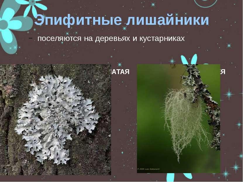 Эпифитные лишайники поселяются на деревьях и кустарниках ПАРМЕЛИЯ БОРОЗДЧАТАЯ...