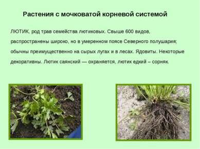 ЛЮТИК, род трав семейства лютиковых. Свыше 600 видов, распространены широко, ...