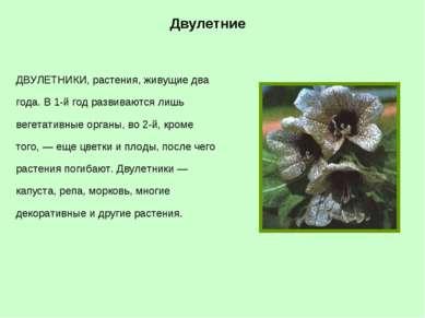 Двулетние ДВУЛЕТНИКИ, растения, живущие два года. В 1-й год развиваются лишь ...