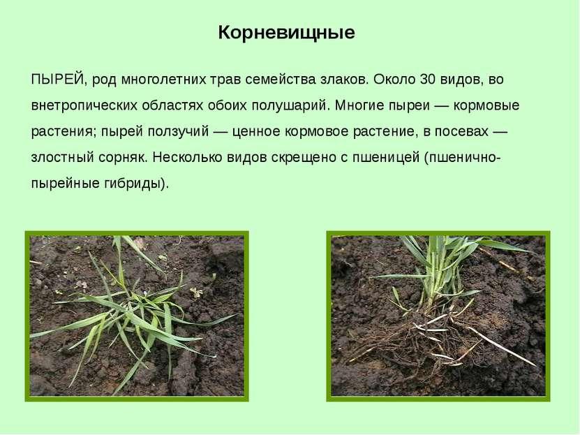 ПЫРЕЙ, род многолетних трав семейства злаков. Около 30 видов, во внетропическ...