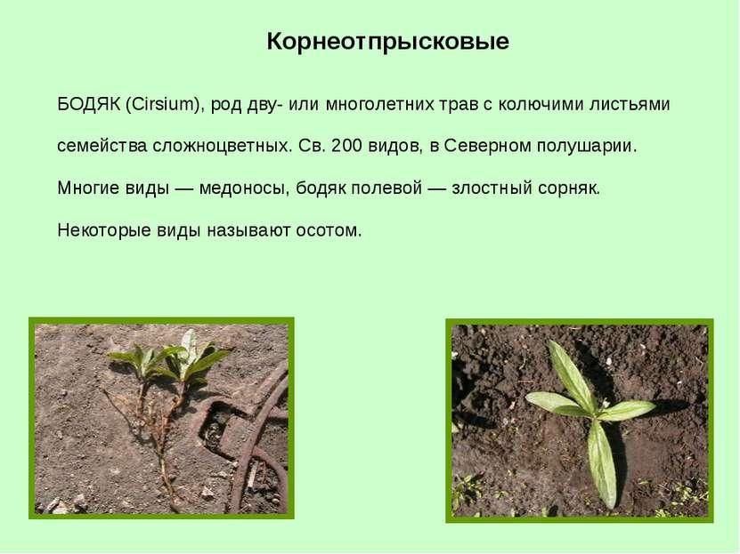 БОДЯК (Cirsium), род дву- или многолетних трав с колючими листьями семейства ...