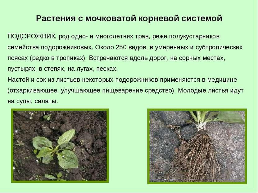 ПОДОРОЖНИК, род одно- и многолетних трав, реже полукустарников семейства подо...
