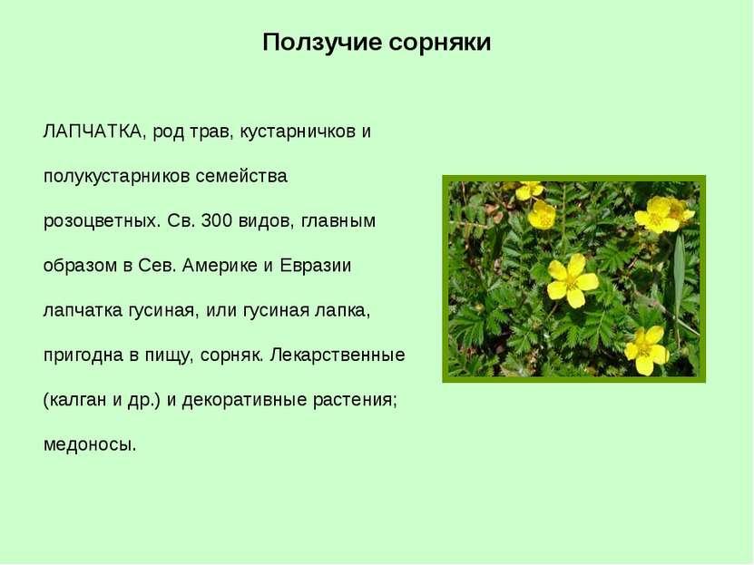 ЛАПЧАТКА, род трав, кустарничков и полукустарников семейства розоцветных. Св....