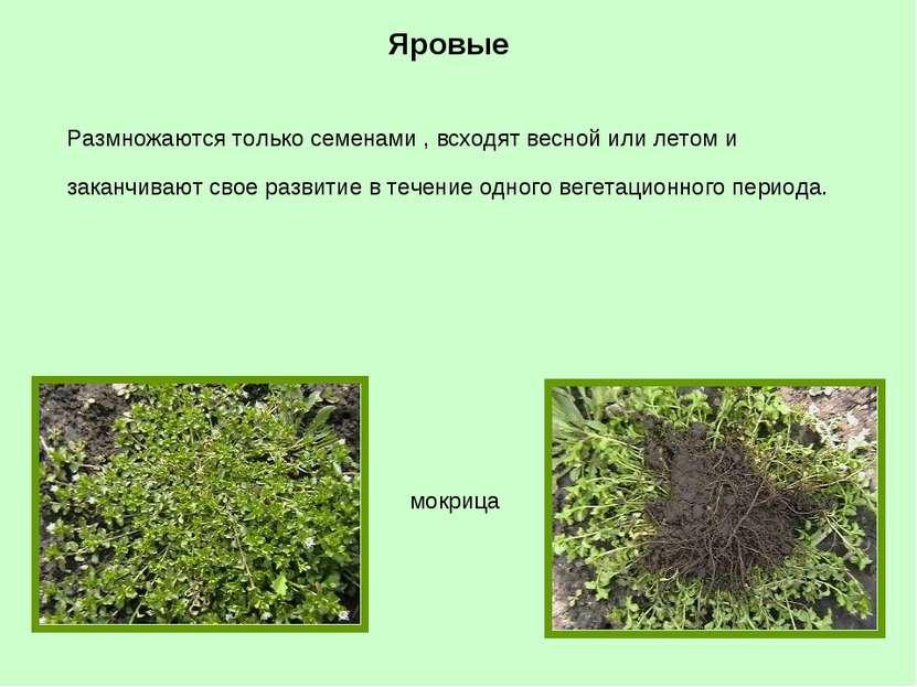 Яровые мокрица Размножаются только семенами , всходят весной или летом и зака...