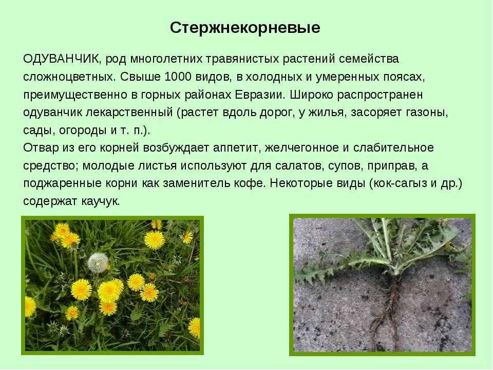 ОДУВАНЧИК, род многолетних травянистых растений семейства сложноцветных. Свыш...