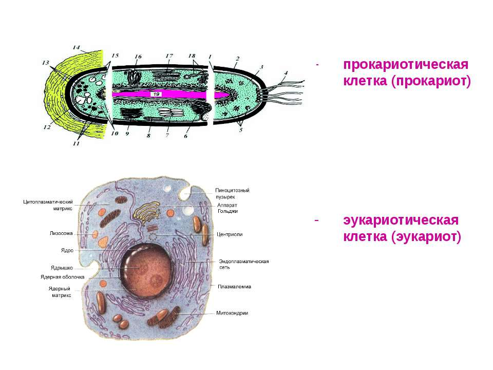 прокариотическая клетка (прокариот) эукариотическая клетка (эукариот)