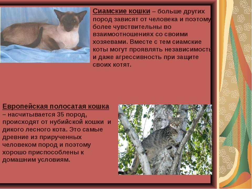Сиамские кошки – больше других пород зависят от человека и поэтому более чувс...