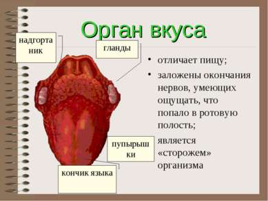Орган вкуса отличает пищу; заложены окончания нервов, умеющих ощущать, что по...