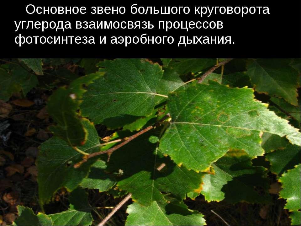Основное звено большого круговорота углерода взаимосвязь процессов фотосинтез...