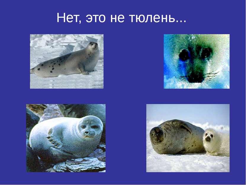 Нет, это не тюлень...