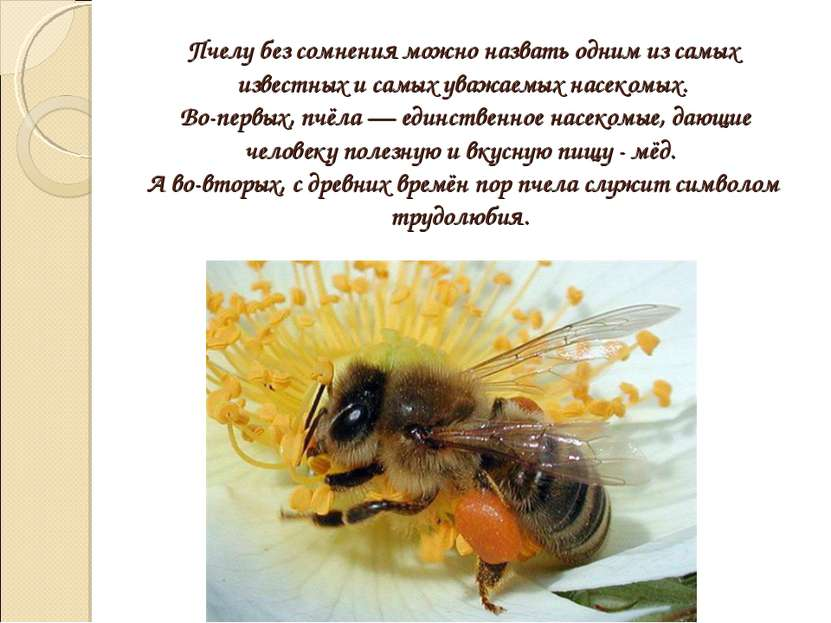 Пчелу без сомнения можно назвать одним из самых известных и самых уважаемых н...