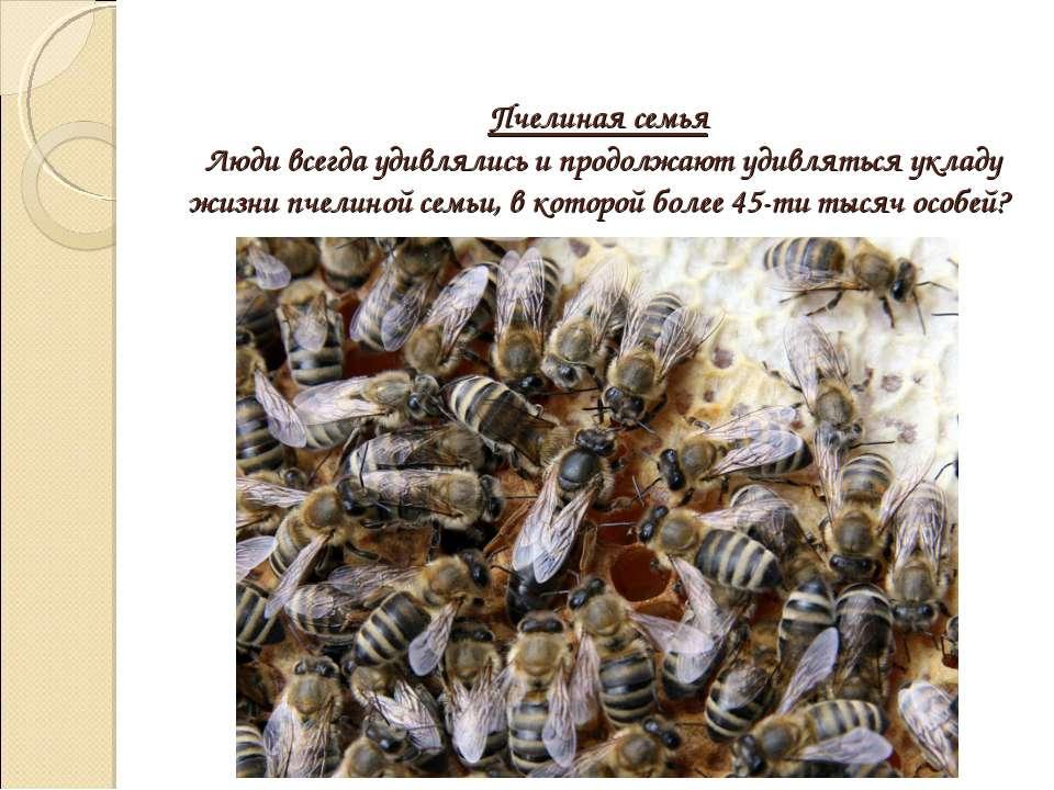 Пчелиная семья Люди всегда удивлялись и продолжают удивляться укладу жизни пч...
