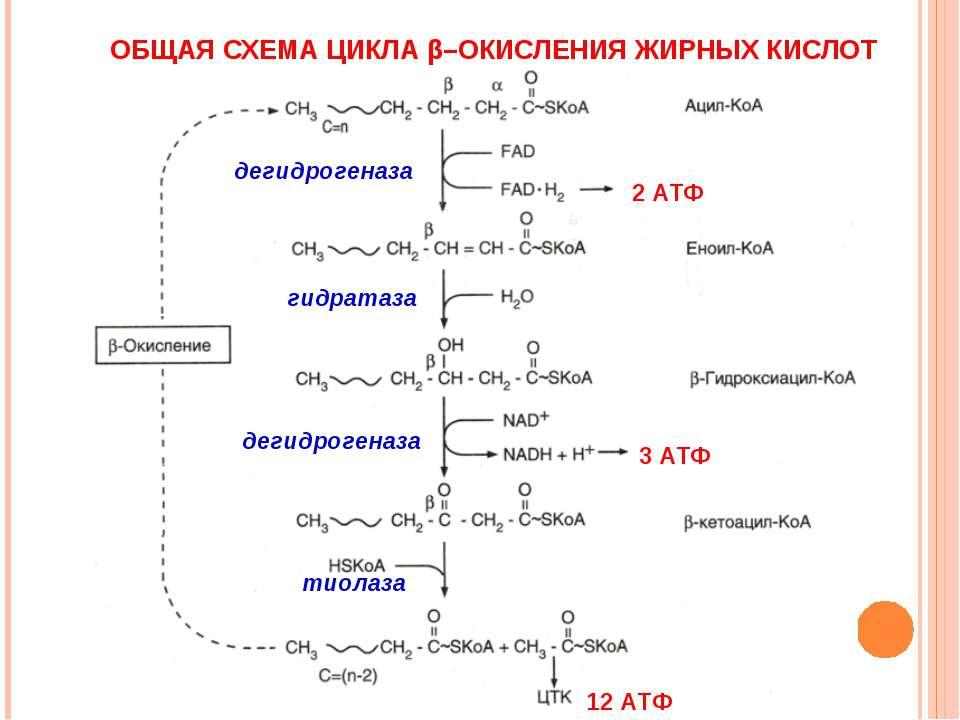 ОБЩАЯ СХЕМА ЦИКЛА β–ОКИСЛЕНИЯ ЖИРНЫХ КИСЛОТ дегидрогеназа гидратаза дегидроге...