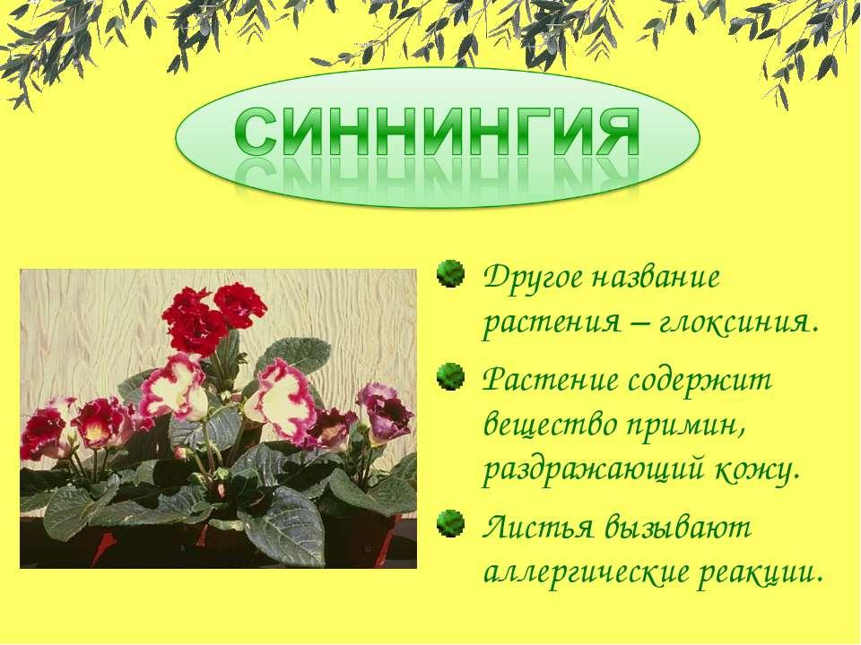Другое название растения – глоксиния. Растение содержит вещество примин, разд...