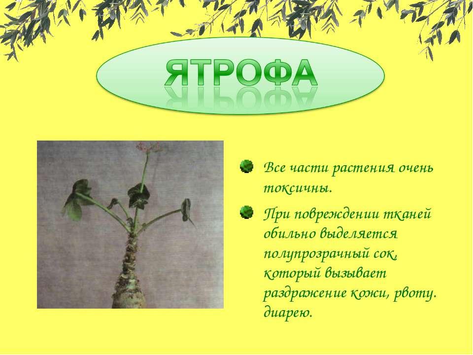 Все части растения очень токсичны. При повреждении тканей обильно выделяется ...