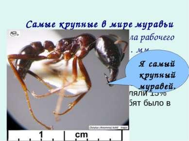 Самые крупные в мире муравьи живут в Африке. Длина тела рабочего муравья с...