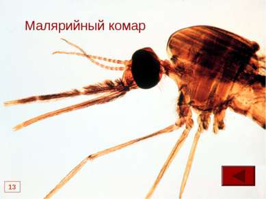* Малярийный комар 13