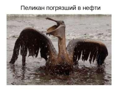 Пеликан погрязший в нефти
