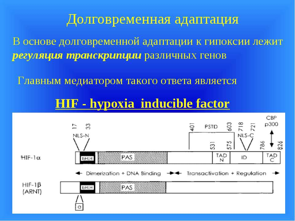 Долговременная адаптация В основе долговременной адаптации к гипоксии лежит р...
