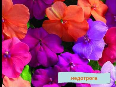 Текст № 4 Недотрога. Растение НЕДОТРОГА получило такое название за своё повед...