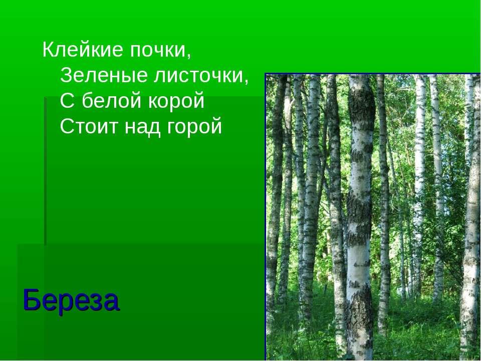 Береза Клейкие почки, Зеленые листочки, С белой корой Стоит над горой