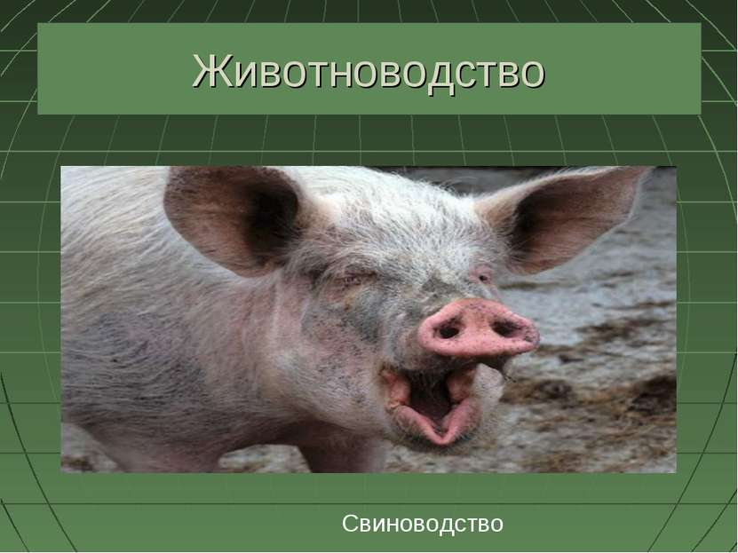 Животноводство Свиноводство