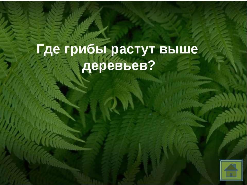 Где грибы растут выше деревьев?