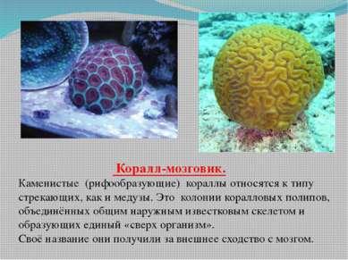 Коралл-мозговик. Каменистые (рифообразующие) кораллы относятся к типу стрекаю...