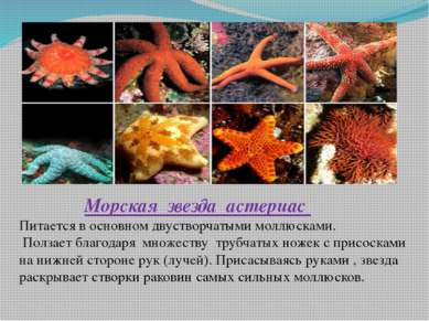 Морская звезда астериас Питается в основном двустворчатыми моллюсками. Ползае...