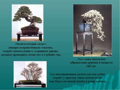 Эта слива (японское абрикосовое дерево) в возрасте 120 лет Пятисотлетняя сосн...
