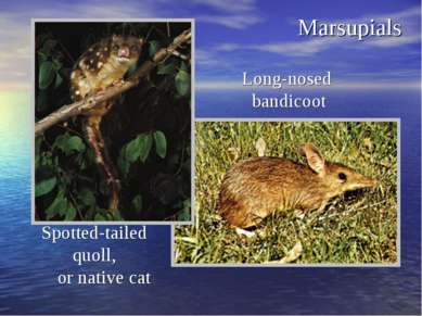 Marsupials Long-nosed bandicoot Spotted-tailed quoll, or native cat