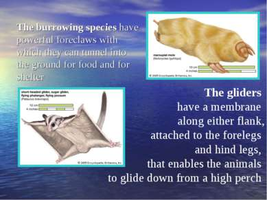 The burrowing species have powerful foreclaws with which they can tunnel into...