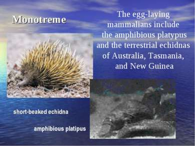 Monotreme The egg-laying mammalians include the amphibious platypus and the t...