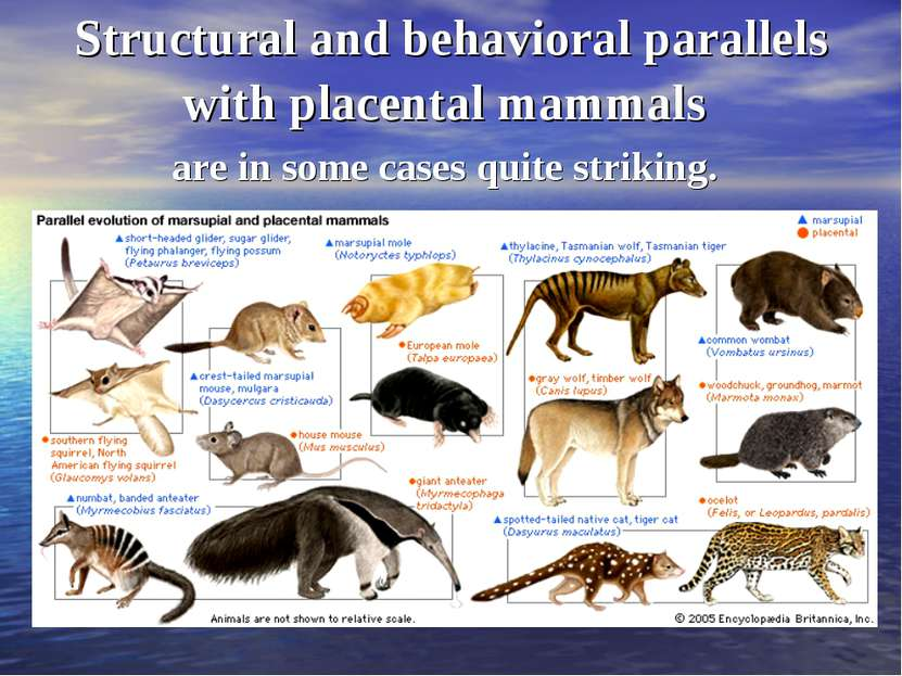 Structural and behavioral parallels with placental mammals are in some cases ...