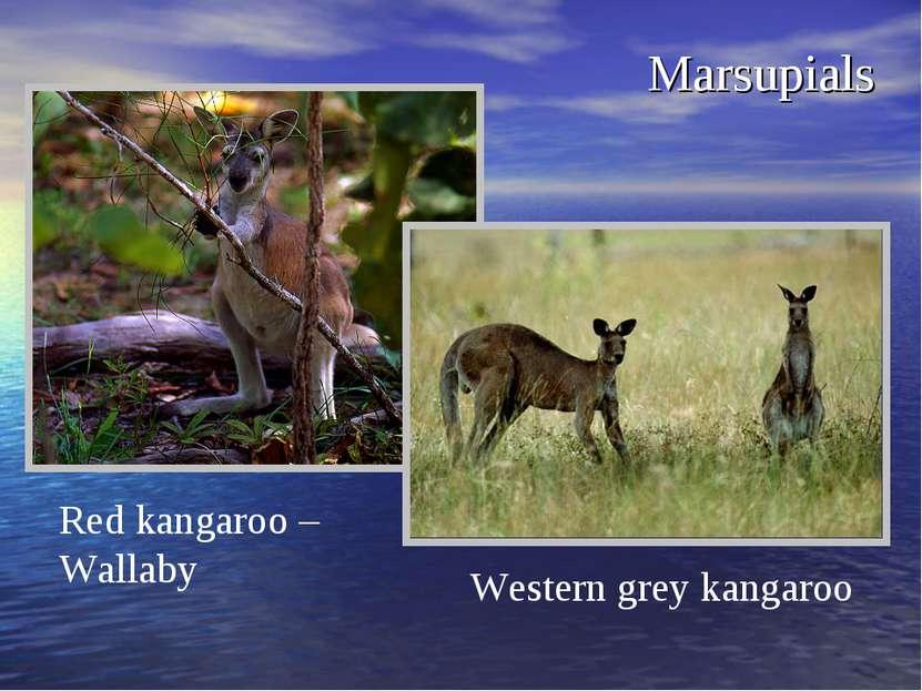 Marsupials Red kangaroo – Wallaby Western grey kangaroo