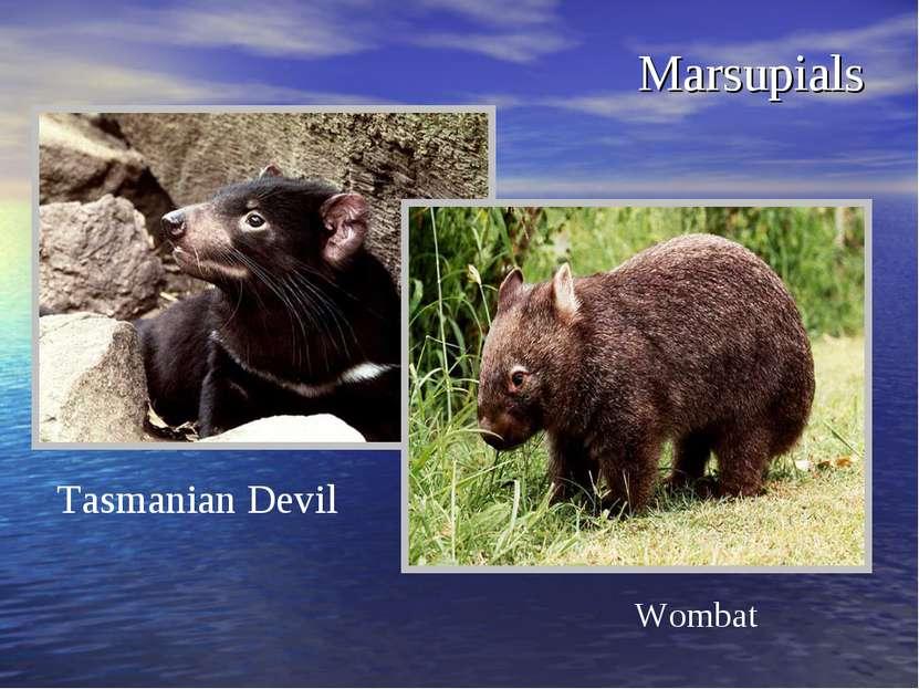 Marsupials Wombat Tasmanian Devil