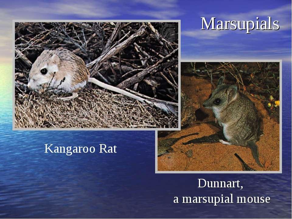 Marsupials Dunnart, a marsupial mouse Kangaroo Rat