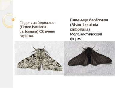 Пяденица берёзовая (Biston betularia carbonaria) Обычная окраска. Пяденица бе...