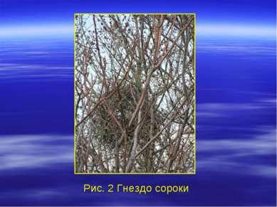 Рис. 2 Гнездо сороки