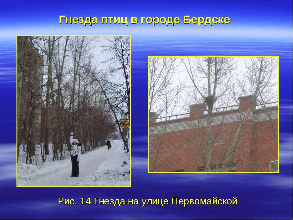 Гнезда птиц в городе Бердске Рис. 14 Гнезда на улице Первомайской