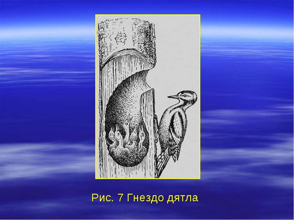 Рис. 7 Гнездо дятла
