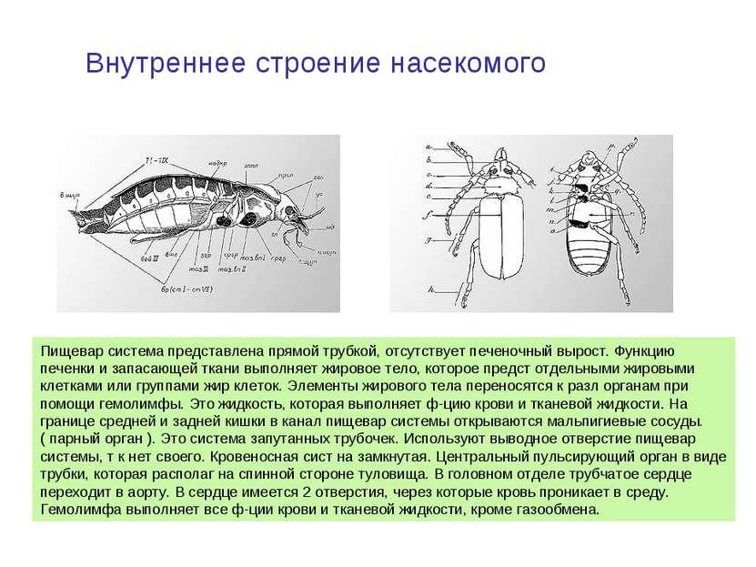 Внутреннее строение насекомого Пищевар система представлена прямой трубкой, о...