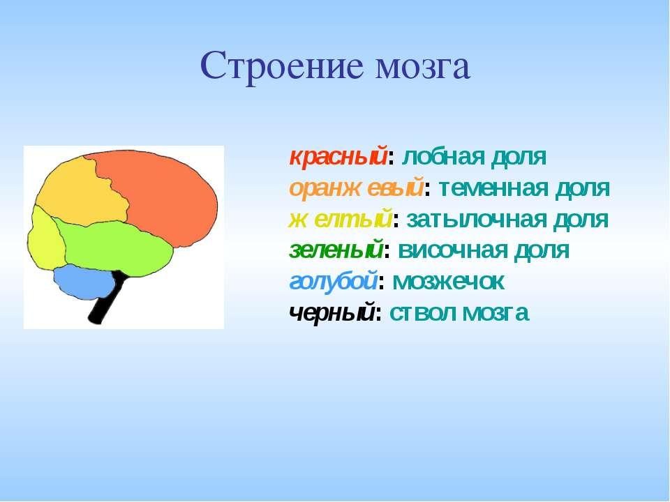 Строение мозга красный: лобная доля оранжевый: теменная доля желтый: затылочн...