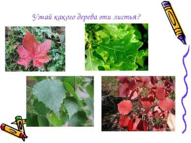 Узнай какого дерева эти листья?