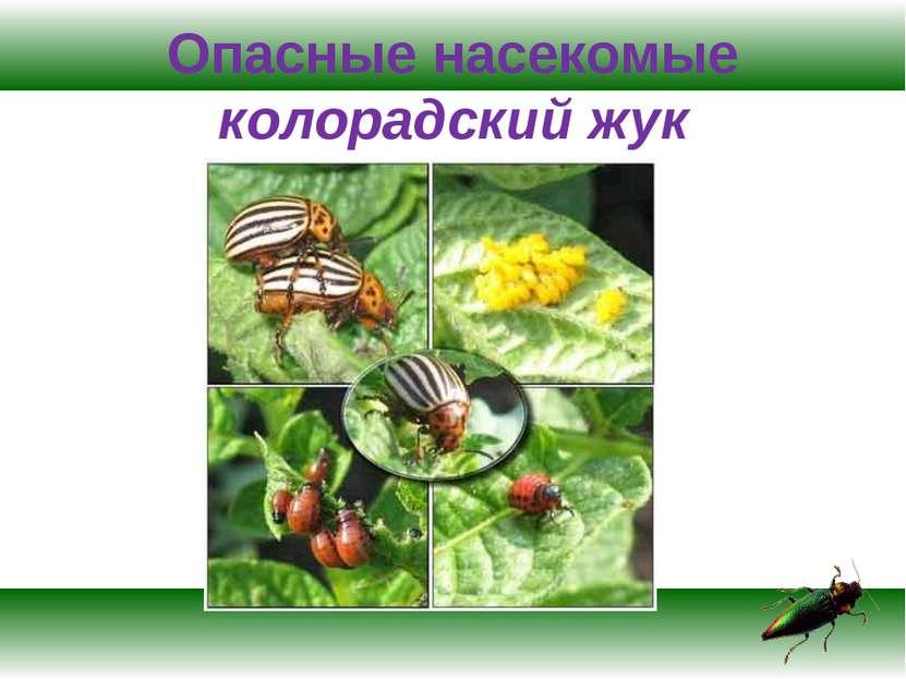 Опасные насекомые колорадский жук
